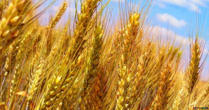 Blé complet bio pour des protéines végétales musculation
