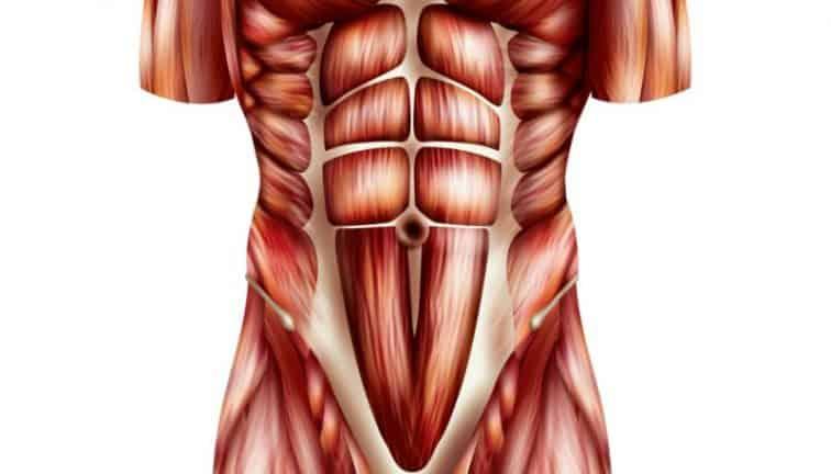 Muscles des abdos