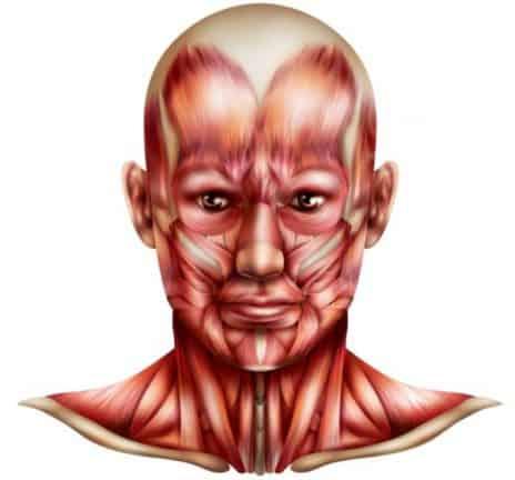 Muscles du corps - la tête et le cou