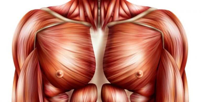Muscles des épaules et pectoraux