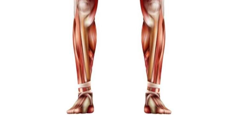 Muscles des jambes ou mollets