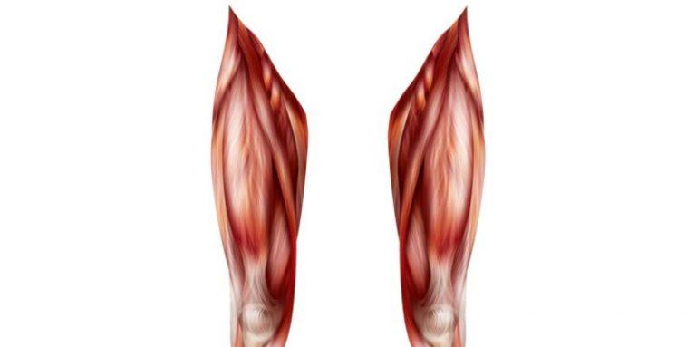 Muscles des quadriceps